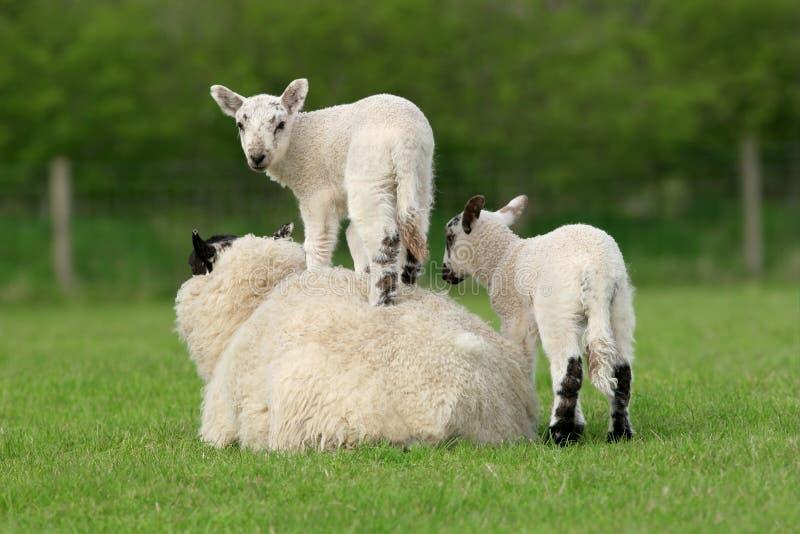 Download Spring Lambs stock image. Image of animal, mutton, acrobat - 6671247