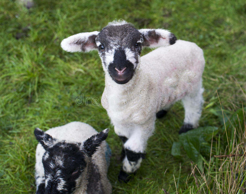 Download Spring Lambs stock image. Image of agriculture, jumping - 75985635