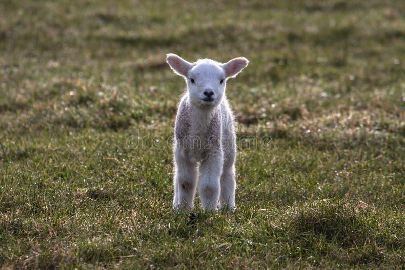 Download Lambs stock image. Image of wildlife, north, lamb, grazing - 30209439