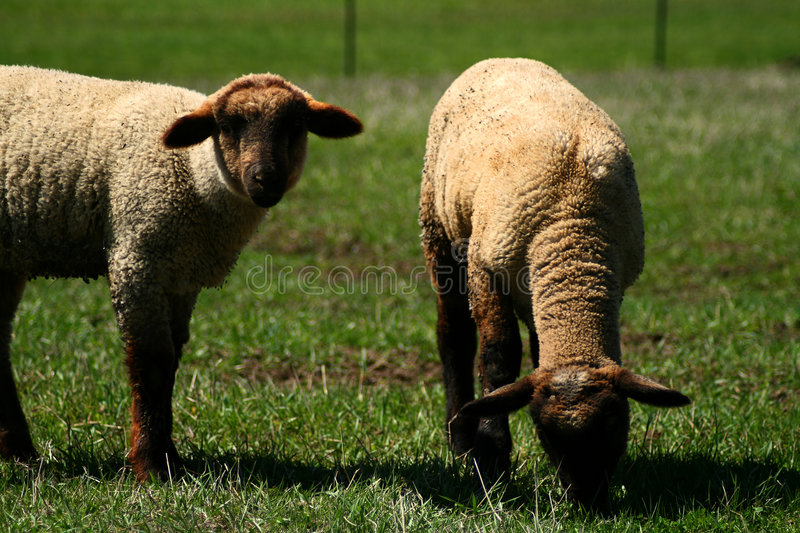 Download Spring Lambs On Pasture 5 stock photo. Image of lamb, graze - 5254618