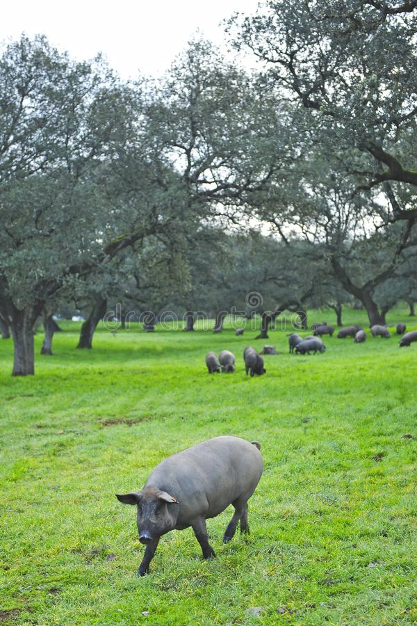 Iberian pigs feeding on acorns near the village of Cumbres Mayores, Huelva province, Spain. Spring landscape in Andalusia on a farm dedicated to raising pork in royalty free stock photos