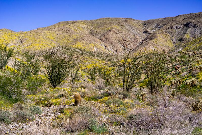 Spring Landscape in Anza Borrego Desert State Park with Ocotillos Fouquieria splendens and Pygmy poppies Eschscholzia stock photos