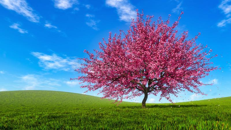 Spring landscape with blooming sakura cherry tree stock photography