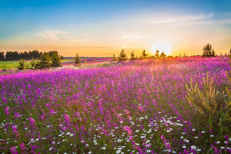 Spring landscape with blooming wild flowers in meadow. Beautiful spring landscape with blooming wild flowers in meadow and sunrise. summer field with flowering royalty free stock photos