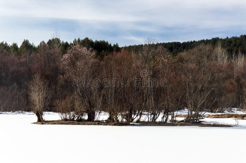 Spring landscape. Bushes of a blossoming willow in early spring. An island in the middle of a frozen river. royalty free stock photo
