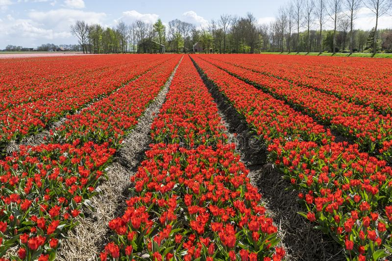Spring landscape with fields of wonderful red tulips in Holland. royalty free stock photography