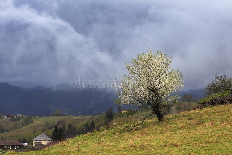 Spring landscape flowering apple trees on the hills of Transylvania stock photo