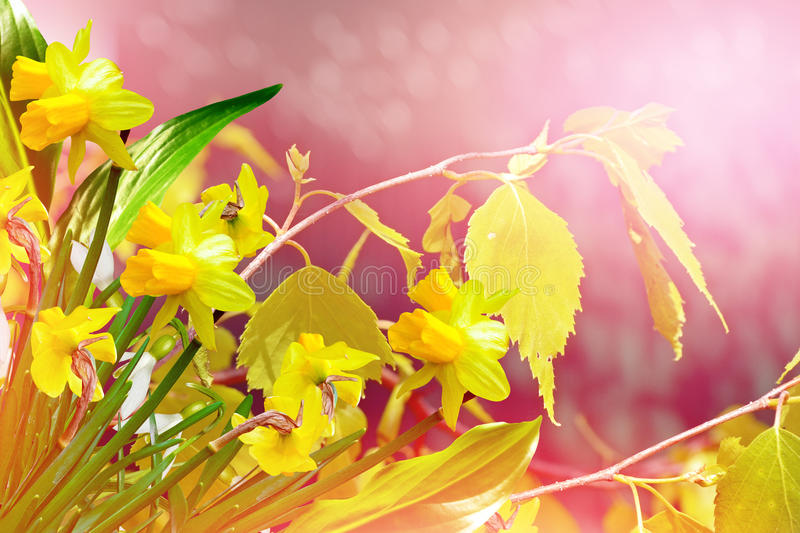 Spring landscape and flowers. Yellow flowers daffodils. Spring landscape and flowers royalty free stock photo