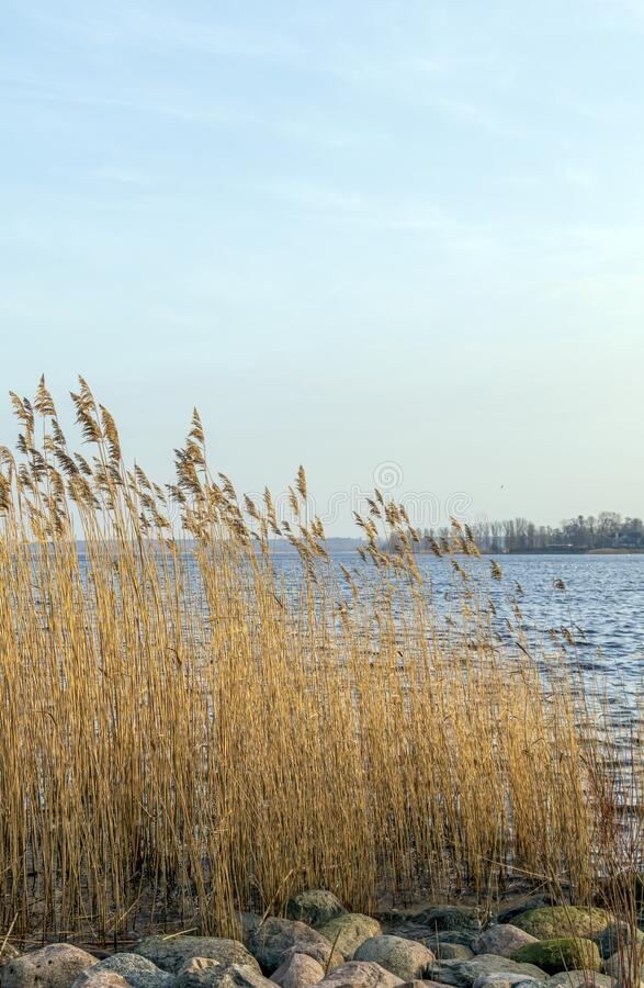 Spring landscape with lake overgrown with reeds near the coast, nature background with dry reed grass. Spring landscape with lake overgrown with reeds near the stock photography