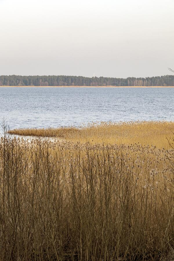 Spring landscape with lake overgrown with reeds near the coast, nature background with dry reed grass. Spring landscape with lake overgrown with reeds near the stock photo