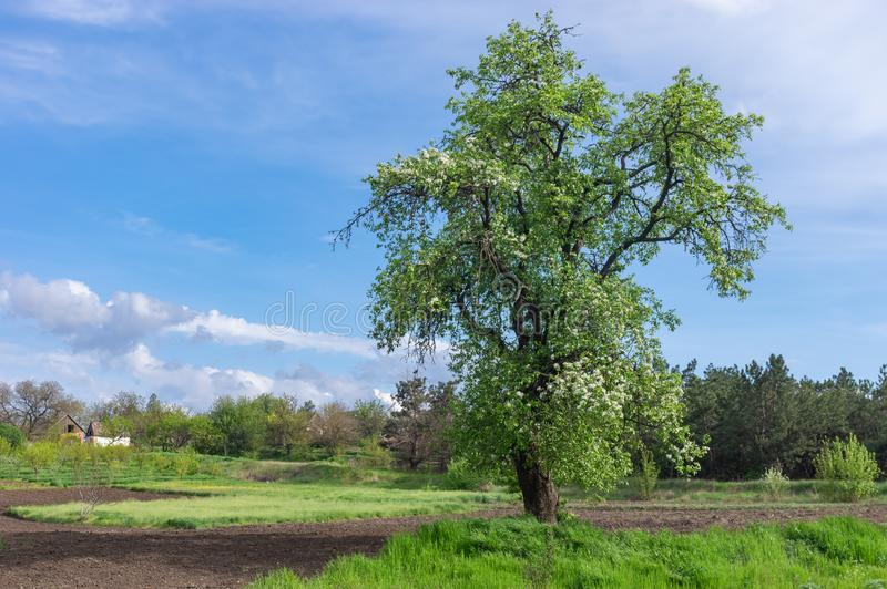 Landscape with lonely flowering wild pear on the edge of garden in  central Ukrainian village. Spring landscape with lonely flowering wild pear on the edge of royalty free stock image