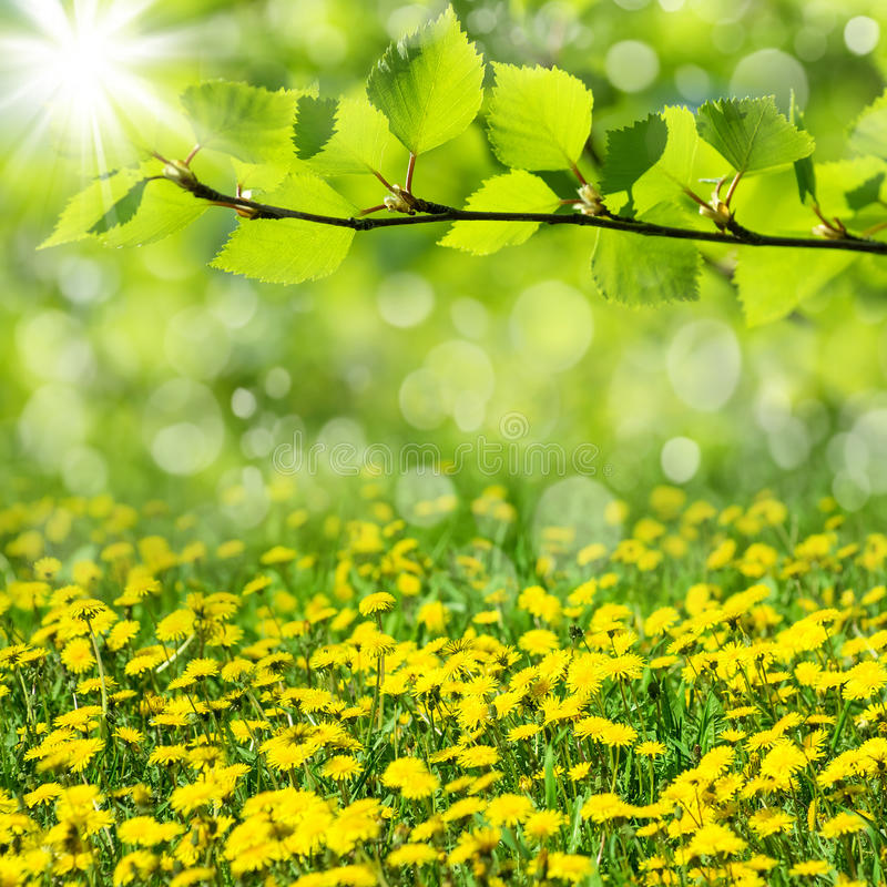 Spring landscape. Spring natural background with the blossoming dandelions royalty free stock photos