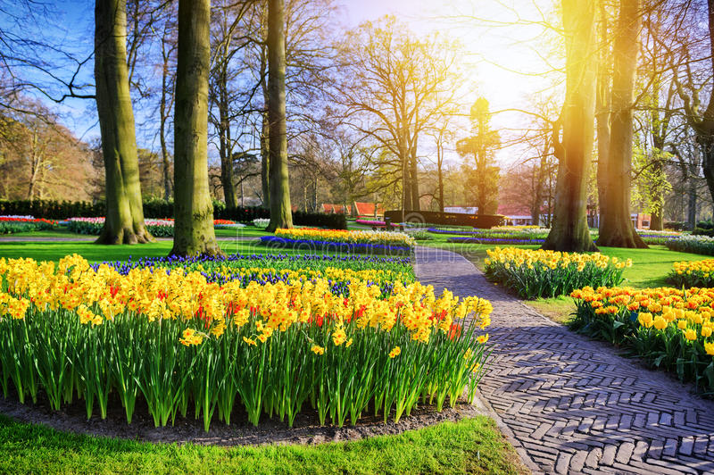 Spring landscape with park alley and yellow daffodils. At sunny spring day stock images