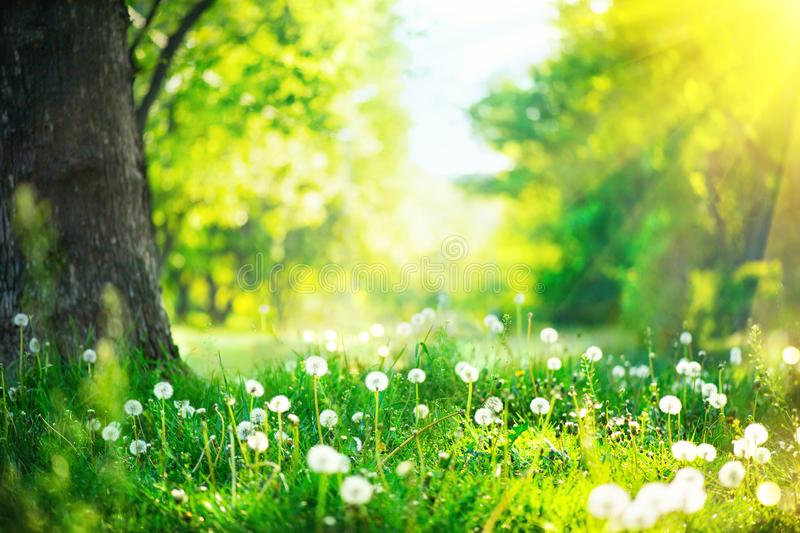 Spring landscape. Park with old trees, green grass and dandelions royalty free stock photo