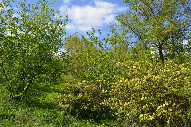 Spring landscape with trees and blooming bushes in sunny day.  royalty free stock photography