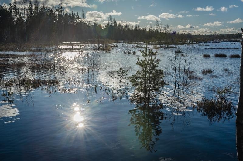 Spring landscape with trees and melt water on the shore of a lake. Sunbeams reflects in the lake. Pines flooded with flood waters in the early spring on the stock photos