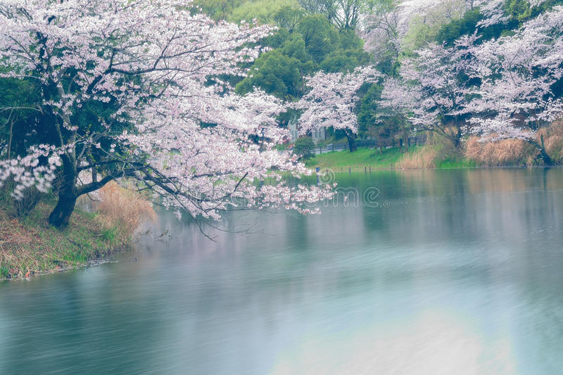 Spring Landscape of White Cherry Blossoms around Pond waters in Japan. Spring Landscape of Japanese White Cherry Blossoms around Pond waters in horizontal frame royalty free stock photos