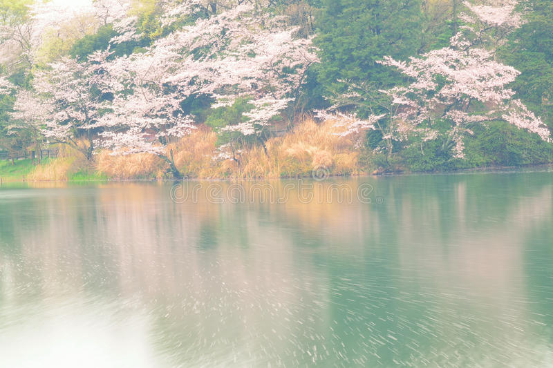 Spring Landscape of White Cherry Blossoms around Pond waters in Japan. Spring Landscape of Japanese White Cherry Blossoms around Pond waters in horizontal frame royalty free stock images