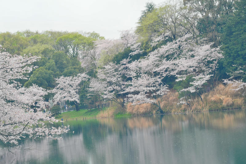 Spring Landscape of White Cherry Blossoms around Pond waters in Japan. Spring Landscape of Japanese White Cherry Blossoms around Pond waters in horizontal frame stock photos
