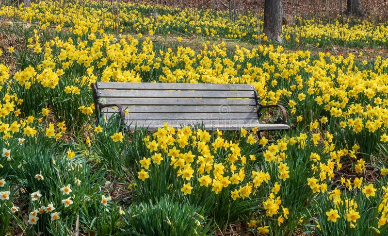 Bench Daffodils Landscape Photos - Free & Royalty-Free Stock Photos from  Dreamstime
