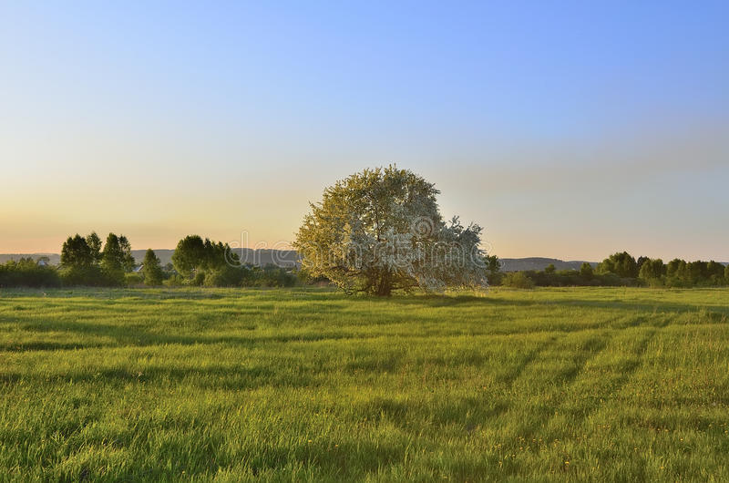 Spring landscape with blooming apple tree royalty free stock photo
