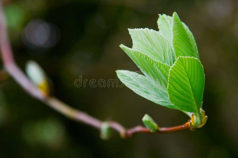 Download Spring leaf on tree brunch stock image. Image of green - 14223227