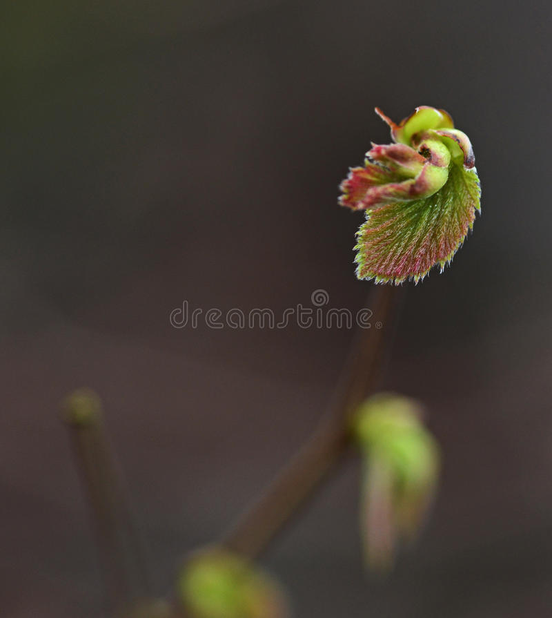 Spring leaves. Macro of springtime and growing plant royalty free stock image