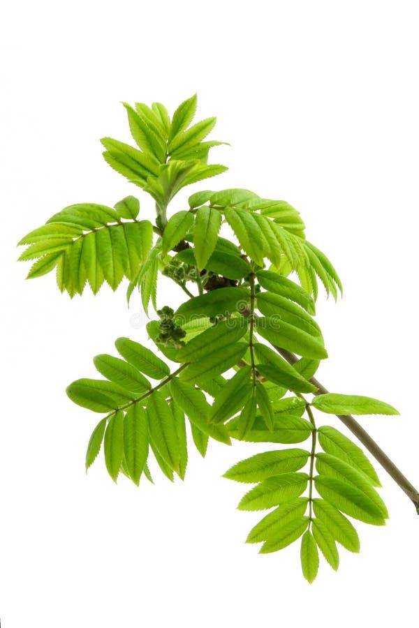 Download Spring  Leaves Of Rowan Tree Stock Photo - Image: 13813718