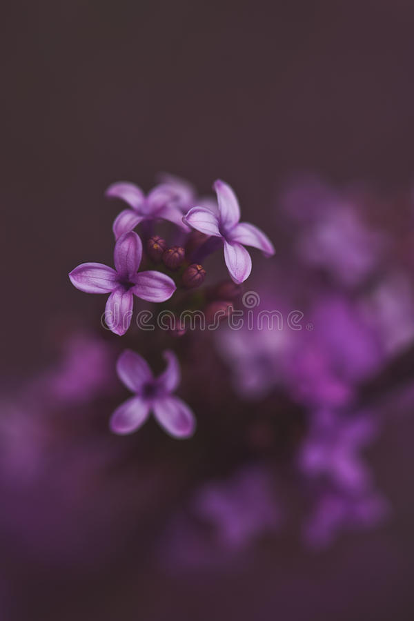 Spring Light Purple Lilac Blooms. Delicate macro of tiny spring purple lilace blooms stock image
