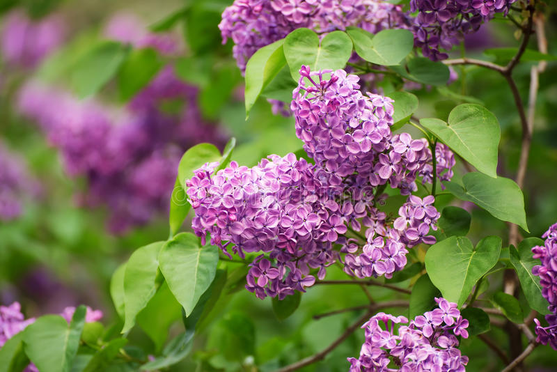 Download Spring Lilac Flowers Stock Photo - Image: 83717150