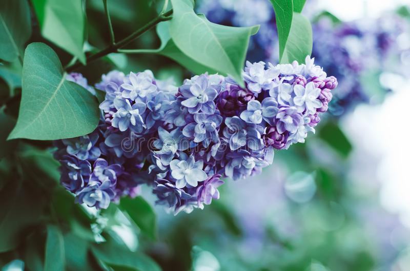 Download Spring Lilac Flowers Stock Photo Image Of Leaves Gardening