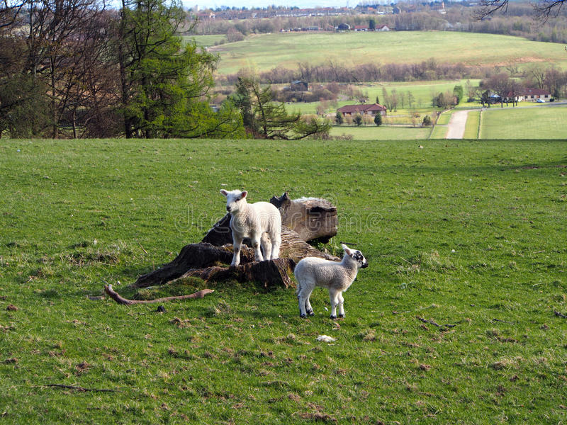 Spring and little lambs. Little walk around Woodhill Wood Park in Alva, Clackmannanshire stock image