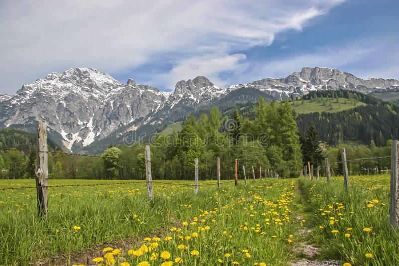 Spring in Loferer country. Dandelion blossom at the foot of the mighty Loferer Steinberge stock photos