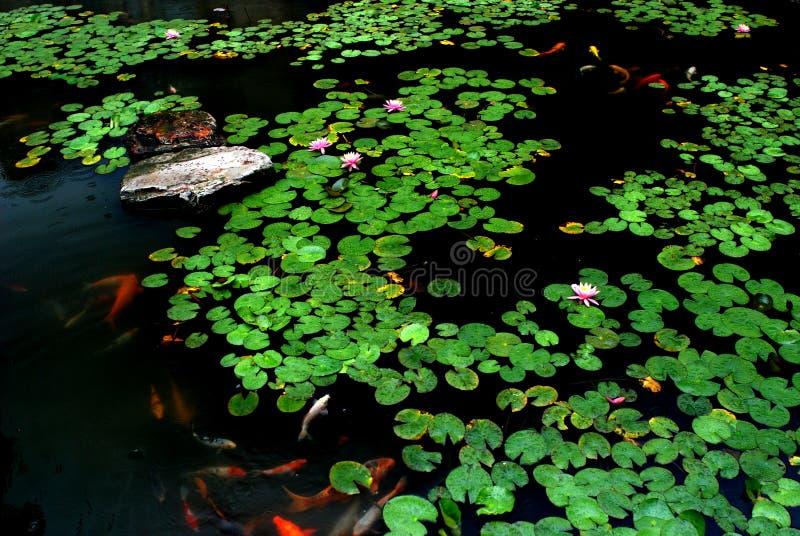 Spring lotus pond. Lotus pond in the spring rain, a lot of verdure lotus leaves, bloomy lotus flowers,pond lilies and brocaded carps or koi fish royalty free stock photos