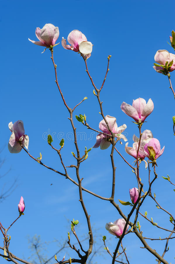 Spring magnolia flowers. Pink Magnolia or Tulip tree in botanical garden stock photo