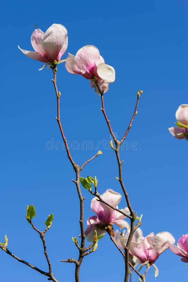 Spring magnolia flowers. Pink Magnolia or Tulip tree in botanical garden stock photography
