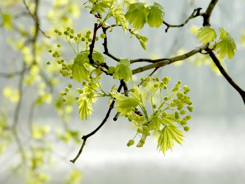 Spring maple leaves in the forest stock photo