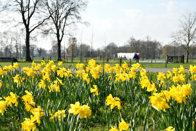 Spring in March, the daffodils are full in bloom royalty free stock photos