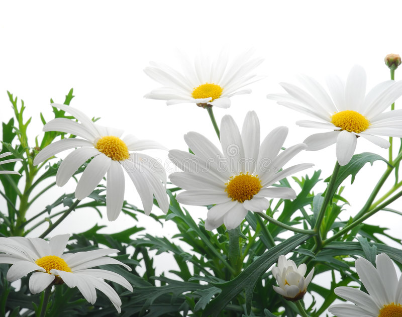 Download Spring marguerite stock photo. Image of detail, background - 4843380
