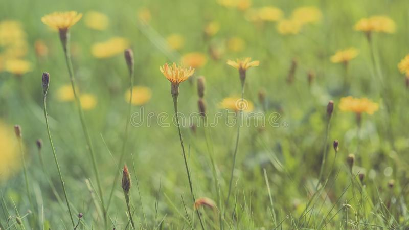 Spring meadow background. Long width banner. Little yellow flowers on tinted soft yellow and green background. Delicate light stock photography