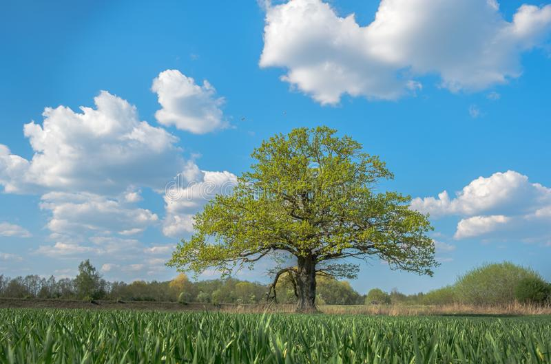 Spring meadow with big oak tree with fresh green leaves royalty free stock images