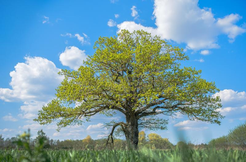 Spring meadow with big oak tree with fresh green leaves stock images