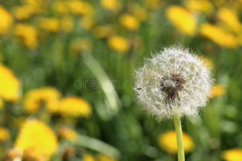 Spring meadow with bright green young grass and flowering dandelions. Visible fluffy faded dandelion. Close-up stock photos