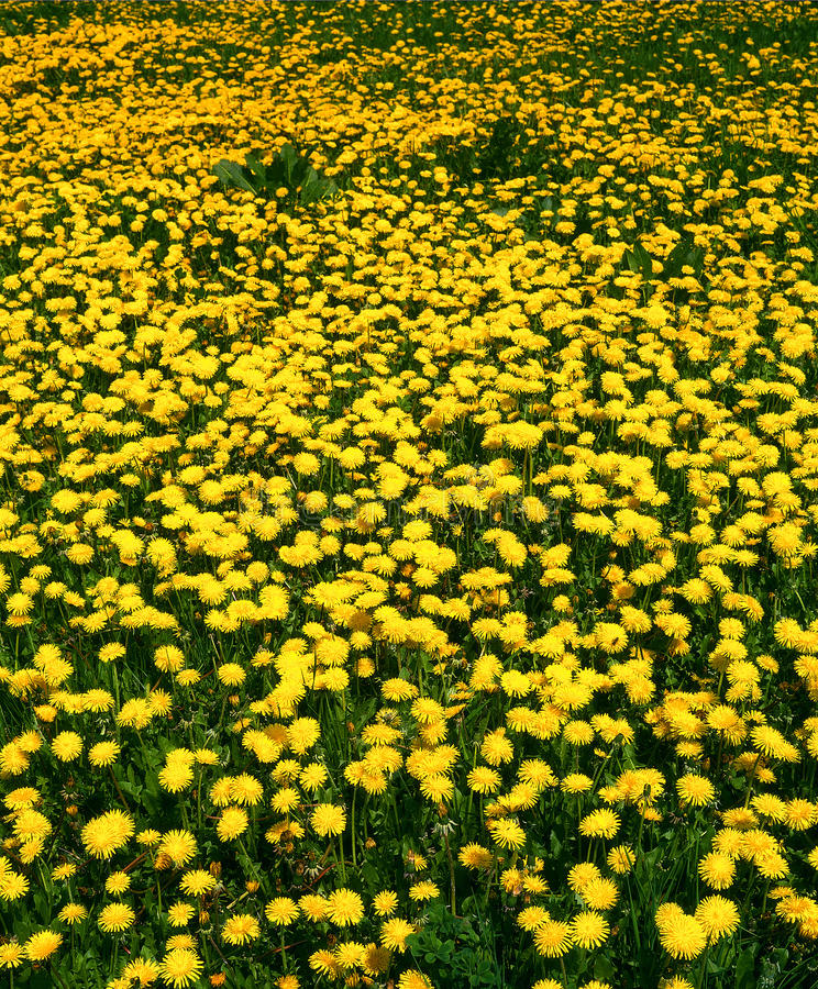 Download Spring Meadow With Dandelion Stock Photo - Image: 11693862