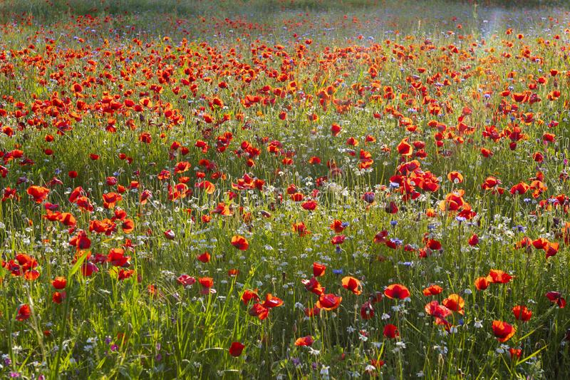 Spring Meadow Filled with Poppies, Pienza, Val d`Orcia, Tuscany, Italy.  royalty free stock photo