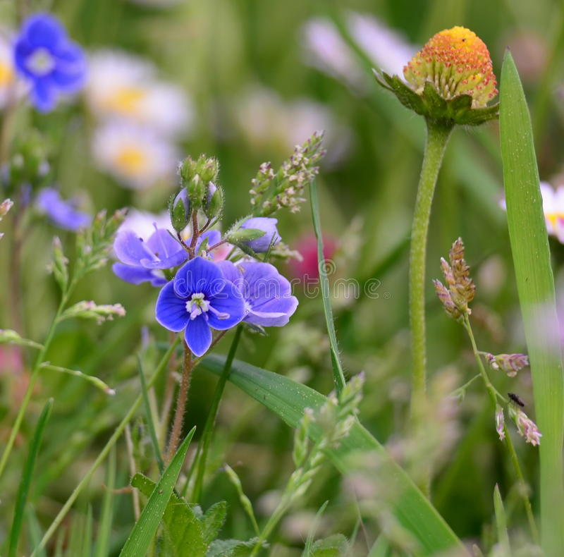 Spring meadow flowers, South Bohemia. Czech Republic royalty free stock images