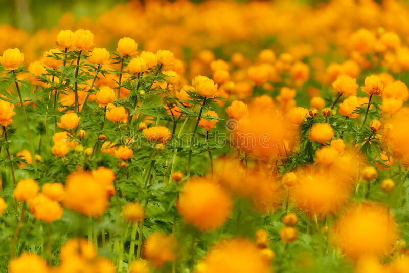 Spring Meadow Globeflowers royalty free stock image