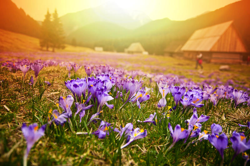 Spring meadow in mountains full of crocus flowers in bloom at sunrise royalty free stock photography