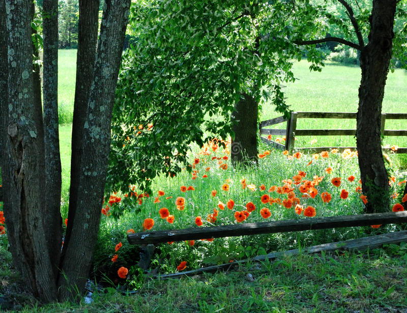 Spring Meadow with Poppies. Trees and orange poppies border a field in late spring stock image