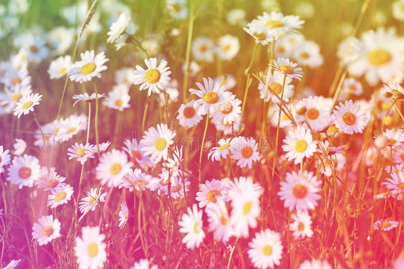 Spring meadow sun - camomile. Field of daisy flowers. stock photography
